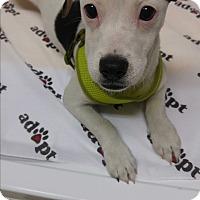 Adopt A Pet :: Olive - Morganton, NC