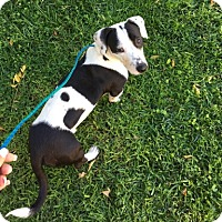 Basset Hound/Dachshund Mix Dog for adoption in Temecula, California - Joe Cool