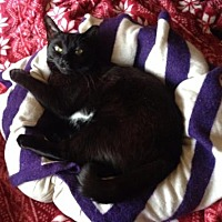 Adopt A Pet :: Chat Noir - New York, NY