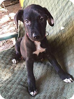 Labrador Retriever Mix Puppy for adoption in North Brunswick, New Jersey - Devon