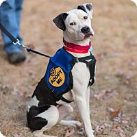 Adopt A Pet :: Stella (Needs Foster) - Washington, DC
