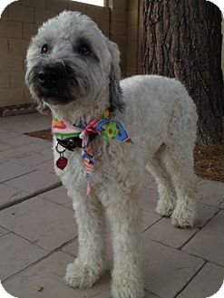 Wheaten Terrier Dog for adoption in Phoenix, Arizona - Amelia