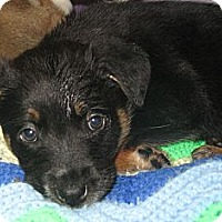 Adopt A Pet :: Sailor - Tumwater, WA