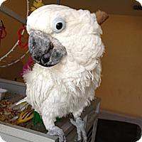 Adopt A Pet :: Boomer - Punta Gorda, FL