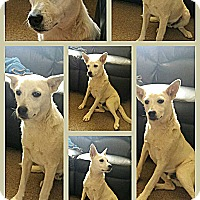 Adopt A Pet :: Niko - dewey, AZ
