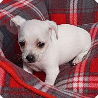 Adopt A Pet :: Snow - La Habra Heights, CA