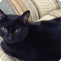 Domestic Shorthair Cat for adoption in Newburgh, New York - Monti