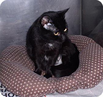 Domestic Shorthair Cat for adoption in Berkeley Springs, West Virginia - Jelly Bean