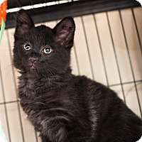 Adopt A Pet :: Dacota - Shelton, WA