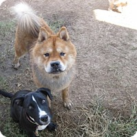 Chow Chow Dog for adoption in San Antonio, Texas - Hudson
