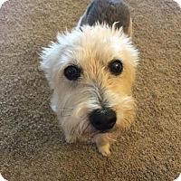 Adopt A Pet :: Charlie *Courtesy Post* - Clarkston, MI