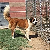 St. Bernard Dog for adoption in Sparks, Nevada - Willow