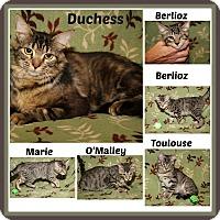 Domestic Shorthair Cat for adoption in Marietta, Ohio - Duchess & Kittens