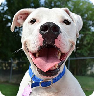 Pit Bull Terrier/American Pit Bull Terrier Mix Dog for adoption in Pontiac, Michigan - Willie