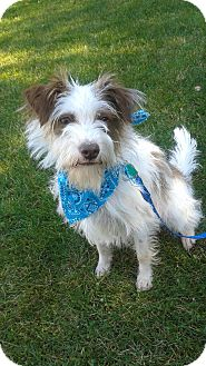 Terrier (Unknown Type, Small) Mix Dog for adoption in Bloomfield, New Jersey - Blake