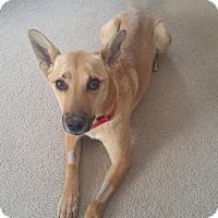 Shepherd (Unknown Type) Mix Dog for adoption in Warren, Michigan - Cleo *COURTESY POST