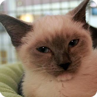 Domestic Shorthair Kitten for adoption in Waco, Texas - Pugsley
