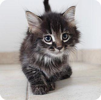 Domestic Longhair Kitten for adoption in Edina, Minnesota - Rapunzel C160332: PENDING ADOPTION
