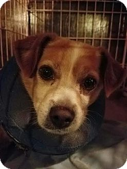 Pomeranian/Jack Russell Terrier Mix Dog for adoption in Fullerton, California - Mojo
