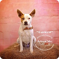 Adopt A Pet :: Gaylord - Lubbock, TX