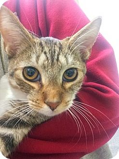 Domestic Shorthair Cat for adoption in Glendale, Arizona - Tiger