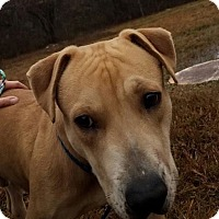 Labrador Retriever Mix Dog for adoption in Allentown, New Jersey - Zeus