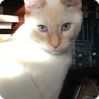 Siamese Cat for adoption in Taylor, Michigan - Gabriel