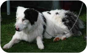 Australian Shepherd/Border Collie Mix Dog for adoption in Mesa, Arizona - Nola