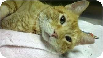 Domestic Shorthair Cat for adoption in Richboro, Pennsylvania - Sherbert