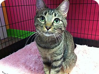 Domestic Shorthair Cat for adoption in Topeka, Kansas - Charm