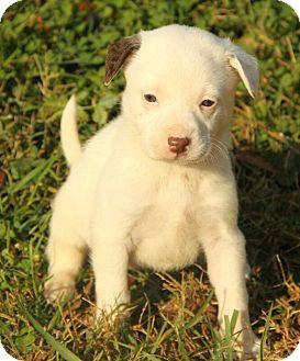 Boxer/Dalmatian Mix Puppy for adoption in Brattleboro, Vermont - Amy