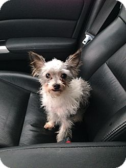 Chihuahua/Yorkie, Yorkshire Terrier Mix Dog for adoption in Chicago, Illinois - Peewee