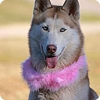 Adopt A Pet :: Layla - Albany, NY
