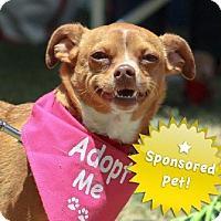 Chihuahua/Miniature Pinscher Mix Dog for adoption in Santa Monica, California - Holly - Sponsored dog and simply adorable!