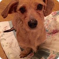 Adopt A Pet :: Gingi - Rancho Cucamonga, CA
