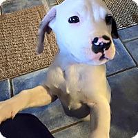 Adopt A Pet :: Padfoot - Charlotte, NC