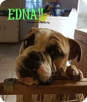 English Bulldog Puppy for adoption in Clinton, Mississippi - Edna