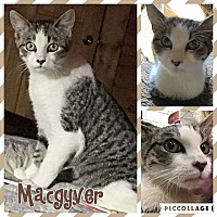 Adopt A Pet :: MacGyveer - McDonough, GA