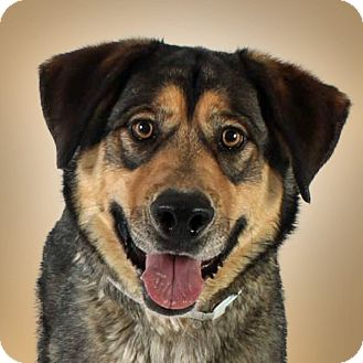 Shepherd (Unknown Type) Mix Dog for adoption in Prescott, Arizona - Robin