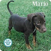 Adopt A Pet :: Mario - Kimberton, PA