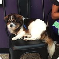 Adopt A Pet :: Sam - Thousand Oaks, CA