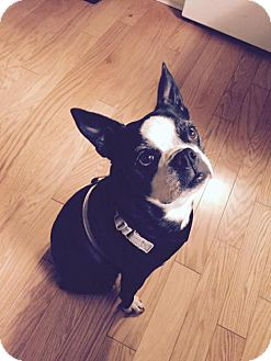 Boston Terrier Dog for adoption in High Point, North Carolina - Lola