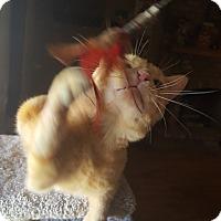 Bengal Cat for adoption in Phoenix, Arizona - Bazooka Benny