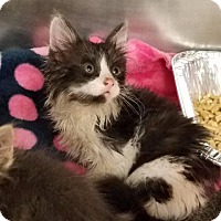 Domestic Longhair Kitten for adoption in New Braunfels, Texas - Milan