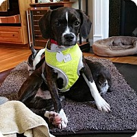Adopt A Pet :: Linus JV in KY - Providence, RI