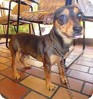 Chihuahua/Dachshund Mix Dog for adoption in Encino, California - Bruce