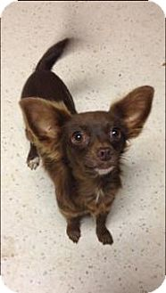 Chihuahua Mix Dog for adoption in Weatherford, Oklahoma - Ginger
