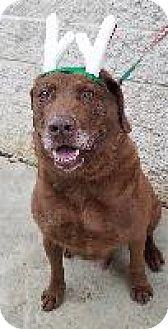 Chesapeake Bay Retriever Dog for adoption in Queenstown, Maryland - Otis