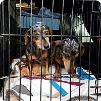 Adopt A Pet :: LILLIE - Lubbock, TX