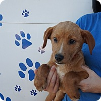 Adopt A Pet :: Roxy - Oviedo, FL